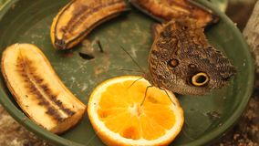 Butterfly eating an orange slice Royalty Free Stock Image