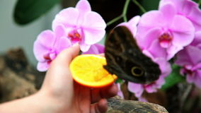 Butterfly eating an orange from woman stock footage