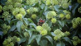 Butterfly eating pollen flower stock video