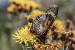 Butterfly eating pollen from a yellow flower royalty free stock photos