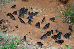 Butterfly eating Salt licks on ground Royalty Free Stock Image