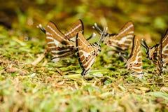 Butterfly eating salt marsh. Royalty Free Stock Photos
