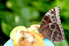 Butterfly eating some fruit. On a garden Stock Photos