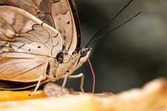 Butterfly eating stock photography