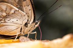 Butterfly eating. Vlinder orchideeenhoeve vlindertuin stock photography