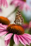 Butterfly on an echinacea Stock Photos