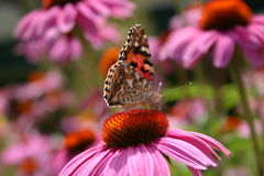 Butterfly on echinacea flower. Ecinacea welcomes butterflys and bees Royalty Free Stock Photo