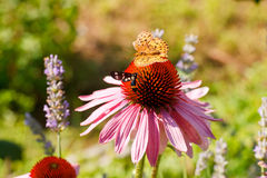 Butterfly on Echinacea flower Stock Photos