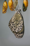 Butterfly eclosion. Paper kite butterfly (Idea leuconoe) after emerging from an orange chrysalis Stock Photos