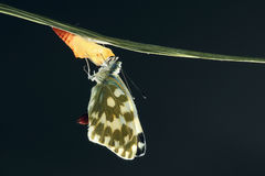 Butterfly eclosion Stock Photography