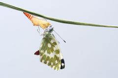 Butterfly eclosion Royalty Free Stock Photography