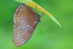 Butterfly with eggs Royalty Free Stock Photos