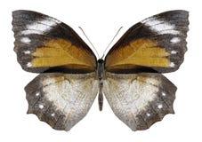 Butterfly Elymnias hypermnestra female royalty free stock photos