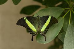 Butterfly Emerald swallowtail, Papilio palinurus Stock Photo