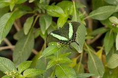 Butterfly Emerald swallowtail, Papilio palinurus Royalty Free Stock Images