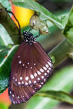 Butterfly emerged from cocoon. Butterfly (Common lndian Crow) emerged from cocoon in the nature, Milkweed Mania Royalty Free Stock Photography