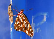 Butterfly emerging Royalty Free Stock Photography