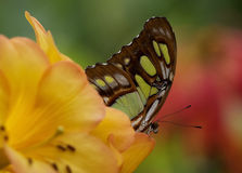 Butterfly Emerging From Flower Royalty Free Stock Photo