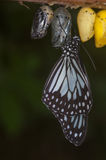 Butterfly Emerging From Pupae Stock Images
