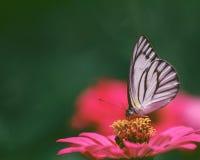 ?Butterfly en bloem Stock Afbeelding