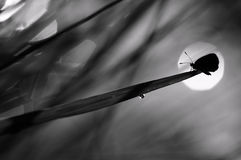 Butterfly. A butterfly enjoy sunset in black and white version Royalty Free Stock Photo
