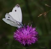 Butterfly. Enjoy themselves at ein flowers Royalty Free Stock Photos