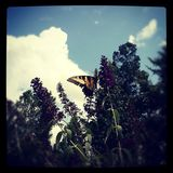 Butterfly. Enjoying itself on a  bush on a hot summer Stock Photo