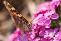 Butterfly enjoying tasty and sweet nectar royalty free stock images