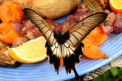 Butterfly Enjoys A Plate Of Fruit. A beautiful butterfly on a fresh plate of fruit Royalty Free Stock Photo