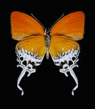 Butterfly Eooxylides tharis. On a black background Royalty Free Stock Images