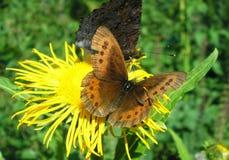 Butterfly Erebia medusa royalty free stock photo