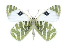Butterfly Euchloe belemia (female) (underside) Stock Image