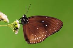 BUTTERFLY/Euploea midamus Stock Image