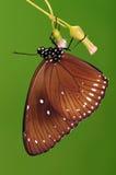 BUTTERFLY/Euploea midamus Royalty Free Stock Image