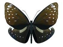 Butterfly Euploea phaenareta royalty free stock photos