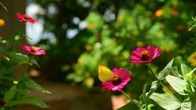 Butterfly Eurema alitha Wollongong feeding on the flower of Zinnia elegans Jacq, Java, Indonesia stock video
