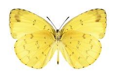 Butterfly Eurema blanda (male) (underside) Royalty Free Stock Image