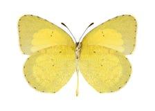 Butterfly Eurema brigitta (female) (underside) Royalty Free Stock Images