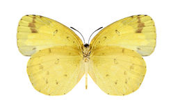 Butterfly Eurema hecabe (female) (underside) Royalty Free Stock Images