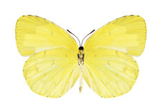 Butterfly Eurema hecabe (female) (underside) Stock Images
