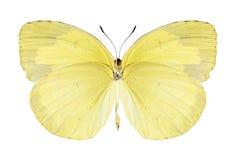 Butterfly Eurema hecabe (female) (underside) Stock Photo