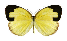 Butterfly Eurema hecabe (female) Royalty Free Stock Photo