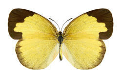 Butterfly Eurema hecabe (female) Royalty Free Stock Image
