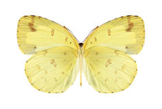Butterfly Eurema hecabe (male) (underside) Royalty Free Stock Photo