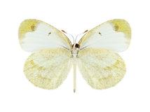 Butterfly Eurema lucina (female) (underside) Royalty Free Stock Image