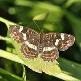 Butterfly. European butterfly on a leaf with blurry background royalty free stock photos
