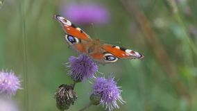 Butterfly European Peacock Aglais io is on a Creeping Thistle flower.  stock footage