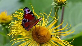 Butterfly European Peacock (Aglais io) on a flower Elecampane stock video footage