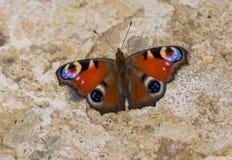 Butterfly European Peacock (Aglais io) Stock Photos