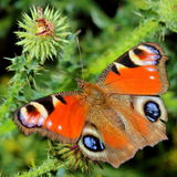 Butterfly - European Peacock (Inachis io) Stock Photos